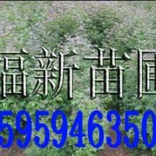 枫香及枫香种子