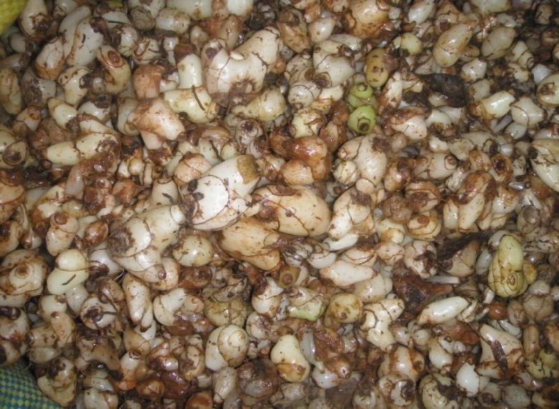 重楼种子多少一公斤_安康重楼种子种苗图片