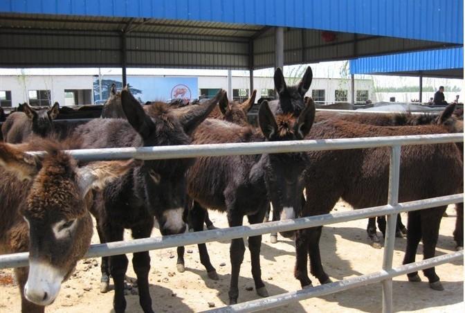 供应肉驴养殖场供应德州驴驴驹