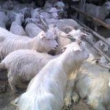 供应吉林肉羊养殖场