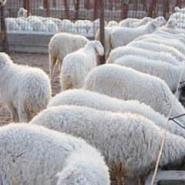 纯种杜泊绵羊杜泊绵羊养殖技术图片