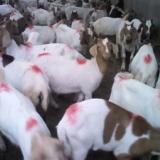 供应纯种波尔山羊最好的肉羊品种波尔羊