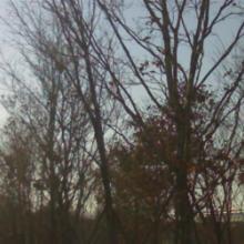供应蒙古栎价格、蒙古栎基地、丛生蒙古栎、蒙古栎大树、蒙古栎批发基地