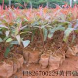 供应桉树苗价格13826700229黄生