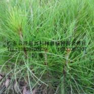 湿地松树苗图片