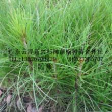 供应【湿地松】湿地松苗,湿地松树苗,种苗,种子,种球,松树苗价格批发