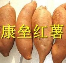 河北雄县康垒红薯合作社大量批发红薯白薯批发