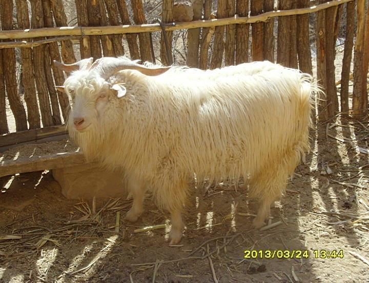德绒山羊_延安子长供应优质绒山羊种公羊,种母羊