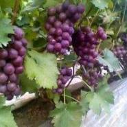 红色鲜食葡萄图片