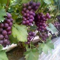 供应红色鲜食葡萄.黑色鲜食葡萄.鲜红色鲜食葡萄