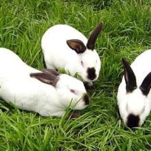 供应怀化伊拉兔种