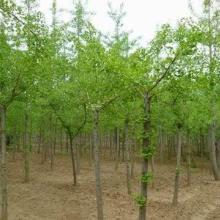 供应银杏树苗报价 贵州银杏树苗 贵州银杏树苗价格