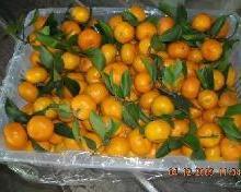 供应柑橘类水果、桔子的种类、广东桔批发