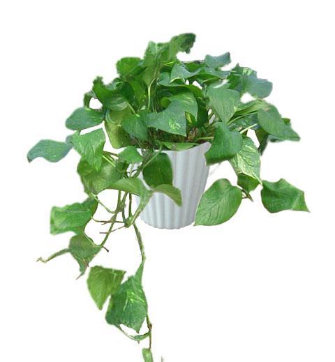 养了一种植物,叶子类似绿萝又似香芋,不过下面真的很像芋头图片