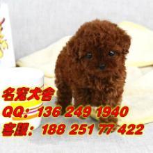 供应广州贵宾犬广州哪里有狗场卖贵宾犬 广州正规狗场买贵宾犬