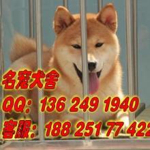 供应广州哪里有卖日本秋田犬广州买纯种宠物狗首先信誉好的名宠狗场批发