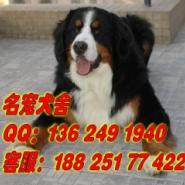 广州那里有卖伯恩山犬图片