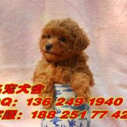 广州天河区边度有卖纯种泰迪熊图片