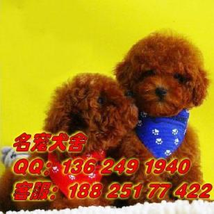 广州番禺区哪里有茶杯泰迪出售图片