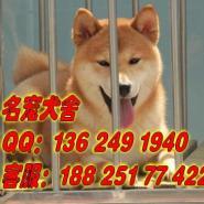 广州什么地方有卖柴犬图片