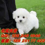 广州白云区哪里有卖白色比熊狗图片
