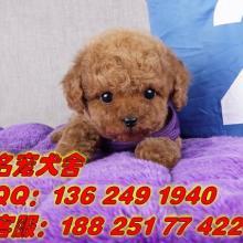 供应广州贵宾犬广州哪里有卖贵宾犬 广州贵宾犬报价多少