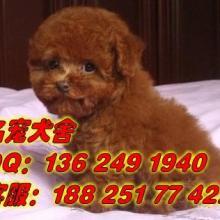 供应广州什么地方有卖贵宾犬 好点的小贵宾犬泰迪熊