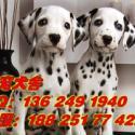供应广州那里有卖斑点狗广州买纯种宠物狗首先信誉好好名宠狗场