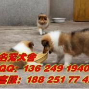 广州哪里有卖苏格兰牧羊犬图片