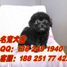 供应广州哪里有贵宾犬养殖场 广州宠物狗泰迪熊买卖批发市场
