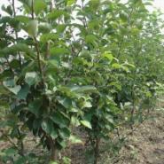 123苹果苗紫叶海棠苗北美海棠苗图片