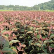 辽宁万村农业优质北美系列海棠苗图片