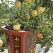 万村农业营养钵寒富苹果苗山丁子苗图片
