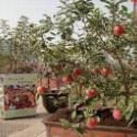 万村农业优质盆栽寒富苹果苗图片