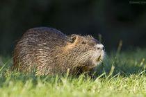 供应河南安阳特种动物海狸鼠种苗商品海狸鼠