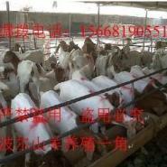 波尔山羊种羊羊羔小尾寒羊养殖厂免图片