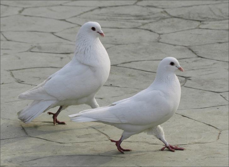 供应新鲜乳鸽