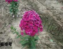 供應叢生福祿考針葉福祿考優質宿根花卉行情價格批發求購圖片
