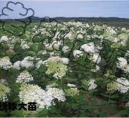 大花水桠木优质木绣球生产图片