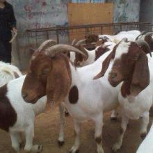 供应小羊价格波尔山羊价格波尔山羊养殖场供应波尔山羊价格批发