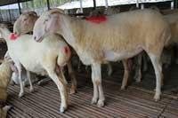 山东小尾寒羊养殖场小尾寒羊肉羊羊羔育肥技术