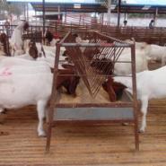 波尔山羊养殖基地波尔山羊繁殖技术图片