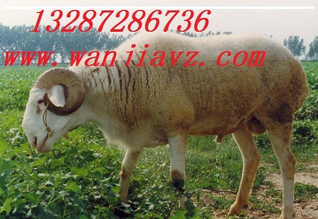 波尔山羊小尾寒羊青山羊特种饲料配方