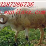 如何选购小尾寒羊种羊肉羊选种技术