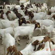 山东肉羊基地出售波尔山羊图片