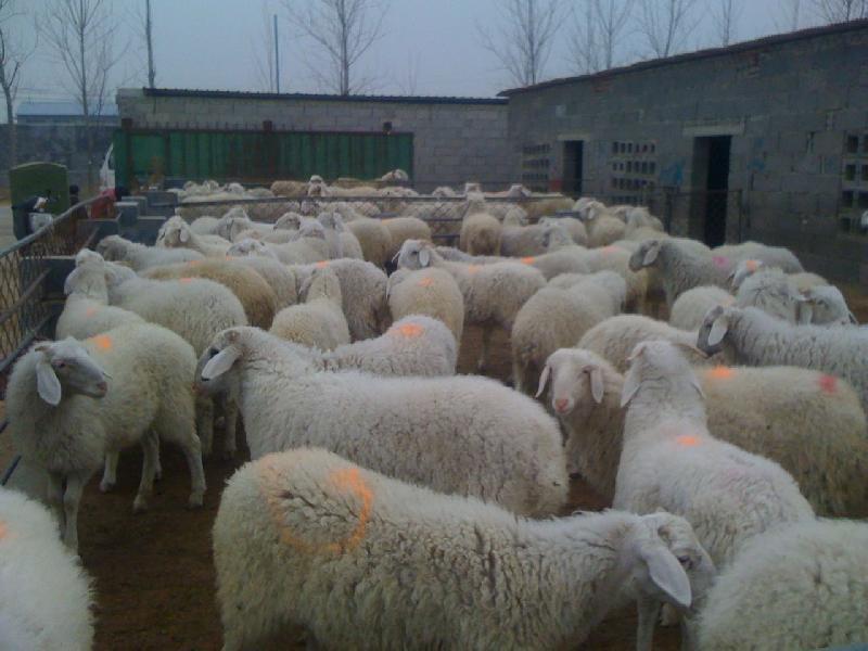 供应小尾寒羊波尔山羊系列