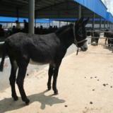 供应出售驴苗肉驴养殖基地批发肉驴仔