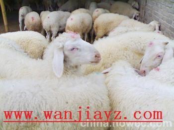冬季养羊技术小尾寒羊效益分析养羊前景正规养羊基地