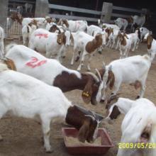 供应波尔山羊种羊养羊养殖基地图片