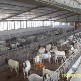 山东肉羊场供应波尔山羊养羊重点波尔山羊养羊技术
